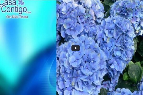 JARDINERIA Y PLANTAS DE EXTERIOR, ORTENSIAS, DIPLADENIA O JAZMIN CHILENO Y JAZMIN